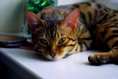 Just Chilling (Zulpha) Tags: 2005 windows pet cats window tag3 taggedout lady youth cat tag2 tag1 gorgeous young kitty fv5 lula zulpha