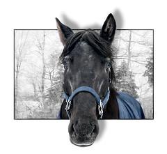 Curious* (Imapix) Tags: portrait horse canada art nature animal canon photography photo bravo foto photographie image quebec québec curious imapix imagne gaëtanbourque imagnation copyright©2006gaëtanbourqueallrightsreserved gaetanbourque abigfave pix50 pix100 pix200 imapixphotography gaëtanbourquephotography
