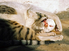 I want to be a cat ! (Délirante bestiole [la poésie des goupils]) Tags: sleeping cats cat chat tunisia frenchpoetry tunisie sleeper souss