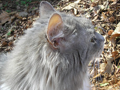 Sally in profile (U-EET) Tags: cat sally graycat