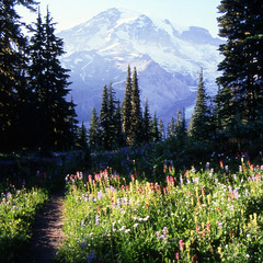 Mt Rainier (bentilden) Tags: flowers trees usa mountain color film meadow mountrainier wildflowers washingtonstate
