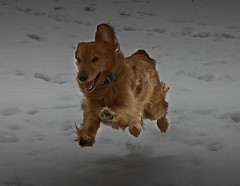 Alex Floating Again (Andrew Morrell Photography) Tags: red 15fav snow motion color alex 510fav goldenretriever happy afternoon wide run copper shakerheights