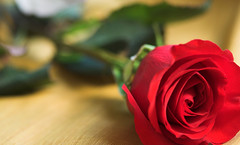 valentino rose (gabo_) Tags: red roses flower green rose valentine thorn valentino happyvalentinesday