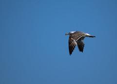 Alone on the Sky (Tomislav C.) Tags: blue sky bird nature birds animals natural seagull gull croatia hrvatska rijeka primorskogoranskažupanija pentaxk3