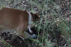 Babel cavando de perfil IV (lapelan) Tags: de la agujero campo cerrado serra solitario tarde ftbol babel tierra perra hierba vaco solos bellotas cavar batet