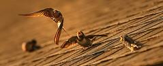 birds cry (irina_escoffery) Tags: chicks canon70200