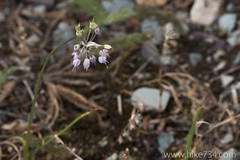 """Nodding Onion • <a style=""""font-size:0.8em;"""" href=""""http://www.flickr.com/photos/63501323@N07/19160397713/"""" target=""""_blank"""">View on Flickr</a>"""