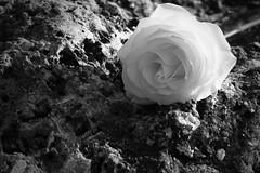 Rose (D()MENICK) Tags: bestofweek1 bestofweek2 bestofweek3 bestofweek4 bestofweek5