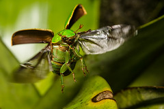 Lift-off (antonsrkn) Tags: mountain mountains macro green southamerica animal forest bug insect flying ecuador wings action beetle flight highland pasture andes bromeliad cloudforest invert scarab invertebrate entomology coleoptera eloro scarabaeidae rutelinae montane scarabaeoidea jewelscarab chrysina