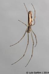 Tetragnatha cf. extensa (Linnaeus, 1758) (Lus Gaifm) Tags: macro spider natureza spinne araa pk spindel araigne ragno aranha voras fo pajk edderkop  hmhkki    rmcek   tetragnathaextensa kngul mblik zirneklis commonstretchspider lusgaifm pnlitoralnorte