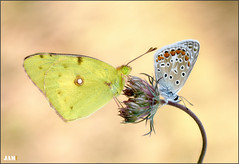 Enfados (- JAM -) Tags: naturaleza flower macro nature insect nikon flor explore jam mariposas d800 insecto macrofotografia explored lepidopteros juanadradas