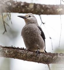 Clark's Nutcracker (Turk Images) Tags: borealforest clarksnutcracker eastslope jaspernationalpark nucifragacolumbiana rockymountains alberta birds clnu corvidea fall staging