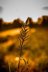 Golden Hour (Azizasrar Photoghraphy) Tags: amateurtobepro travellight nikon grass azizasrar landscape closeup