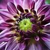 Dahlia (MarieFrance Boisvert) Tags: flower dahlia painting impressions2