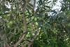 olives (zeytin) (mdoughty68) Tags: olives zeytin turkey turkiye bozcaada