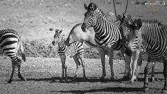 Hartmann mountain zebras (dieLeuchtturms) Tags: 16x9 africa afrika bergzebra equidae equuszebra equuszebrahartmannae etoshanationalpark hartmannbergzebra namibia perissodactyla pferde säugetiere unpaarhufer vertebrata vertebrates wirbeltiere mammals monochrome mountainzebra omusatiregion renostervlei