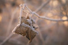 DSC_9865 (gabriella.hafner) Tags: winter hungary zúzmara cold hideg hó snownature macro