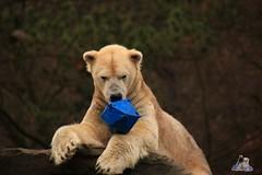 Tierpark Berlin 26.12.2017 063 (Fruehlingsstern) Tags: eisbär polarbear wolodja rothund nashorn stachelschwein tierparkberlin canoneos750 tamron16300