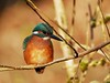 Eisvogel (Alcedo atthis) (tinka1364) Tags: eisvogel kingfisher