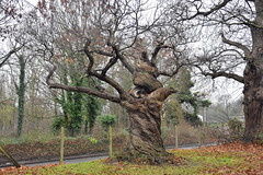 Twisted Tree (John A King) Tags: gnarled twisted chestnut tree