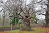 Twisted Tree (John A King) Tags: gnarled twisted chestnut tree