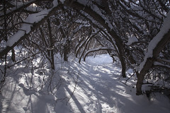 Arbor (Jeff Mitton) Tags: snow snowshoetrail chautauquapark boulder colorado ashtrees winter rockymountains wondersofnature