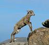 Bighorn Lamb Jumping (Sandra Leidholdt) Tags: wild colorado bighornedsheep bighornsheep 14er usa sandraleidholdt oviscanadensis rockymountains coloradowildlife mountains frontrange wilderness mtevans wildlife wildanimals mountevans stateanimal us northamerica rockymountainbighorns mountainsheep lamb younganimal jump jumping animal sheep