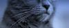 Miss Moustache (Thierry.Vaye) Tags: luna chat chartreux pentax sigma 50mm f14 bokeh moustaches museau truffe cat