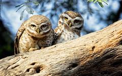You Really Think So? (ZeePack) Tags: bird tree pair staring perched spottedowlet keoladeobirdsanctuary canon india rajasthan bharatpur owl athenebrama 5dmarkiv outdoor