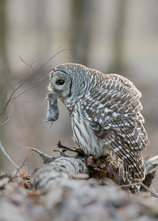 Chouette rayée Strix varia - Northern Barred Owl