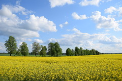 colours of the spring (JoannaRB2009) Tags: landscape view trees alley avenue green yellow canola sky blue clouds nature spring łódzkie lodzkie polska poland