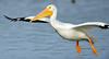 LakeChabot_123116_227 (kwongphotography) Tags: lakechabot castrovalley birds calif americanwhitepelican pelican wildlifephotography nature naturephotography wildlife birdsinflight unitedstates