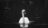 King (f.renxh) Tags: canon 70d sigma af 70200mm f28 ex os hsm nature wildlife rural swan regal royalty birdwatching wildanimals kent beauty fauna 70200f28 sigmalens blackandwhite