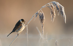 Reed Bunting (JustinTheWild) Tags: reed bunting winter frost canon justin hoffmann otmoor united kingdom uk bird wild perched r2y7224