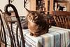 Luke (Katherine Ridgley) Tags: cat feliscatus felis felinae felidae carnivora carnivore mammalia mammal animalia animal abyssinian abyssiniancat maleabyssinian malecat ruddyabyssinian ruddy usualabyssinian usual purebred purebreed purebredcat