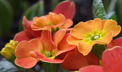 11-IMG_8531 (hemingwayfoto) Tags: balkon blühen blüte blume botanik facebook flora frühblüher frühling frühlingsprimel garten gartenblume gewächs gewächshaus macro natur orange panther pflanze primel primulaveris zucht