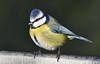 Blue Tit (Arnt Kvinnesland) Tags: bluetit gardenbird outdoor winter blåmeis hagefugler småfugler hage vinter januar blikshavn noruega