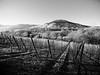 Vignes de Kaysersberg en hiver. (steph20_2) Tags: panasonic gh3 lumix m43 714 paysage countryside vignes alsace france monochrome monochrom vosges noir noiretblanc ngc terroir blanc black bw white skanchelli montagne mountain