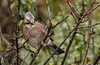 DSC_4187 Jay (Rattyman76) Tags: magbeam magmod jay corvid bird