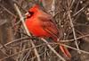 a little bit of red (S. J. Coates) Tags: cardinal songbird lemoinepointconservationarea kingston finch winter