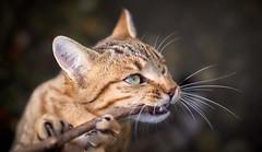concerto pour matou en ronron mineur (rondoudou87) Tags: cat chat pentax k1 fun funny macro close closer animal kittysuperstar