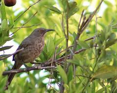 #Bird #Aves #photograph #biodiversidad #biodiversity #Naturaleza   #Oaxaca #mexico (carlosa.velasco) Tags: biodiversidad bird mexico naturaleza aves biodiversity photograph oaxaca