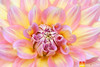 Dahlia-58 (Nualchemist) Tags: flower plant nature simplyflowers petals pink bloom green greenleaves floralphotography dahlia yellow red summer fullbloom botanical bright light floral heavenly macro orange 2016dahliashow colorful white closeup delightful glorious magical soft goldengatepark pretty palepink lightpink enchanting sanfrancisco singleflower cheerful joyful delight california colors palette botanicalgarden organicpattern purple lavender designbynature geometric elementsofdesign silky velvet softlight veil tender flame fire satin translucent