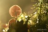 Light-explosion HBW (roelivtil) Tags: bokeh funghi light 7dwfwednesdaythememacro macro mushroom macrodreams