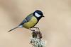 _F0A8693.jpg (Kico Lopez) Tags: carbonerocomún galicia lugo miño parusmajor spain aves birds rio