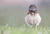 Fluffy (Megan Lorenz) Tags: burrowingowl owl owlet bird avian birdofprey nature wildlife wild wildanimals travel florida mlorenz meganlorenz