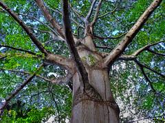 SAMAUMEIRA (Rui Pará) Tags: gigante abaetetuba pará brazil amazon tree árvore nature natureza bug bugs inseto insect vida life