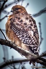 Red Shouldered Hawk (The Suss-Man (Mike)) Tags: animal bird cumming forsythcounty georgia hawk minoltaafreflex500mmf8 nature sonyilca77m2 sussmanimaging thesussman trees redshoulderedhawk dominique bokehlicious bokeh dof