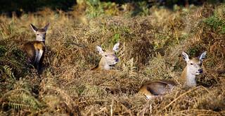 Three times a Lady (Deer)