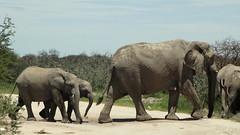 Elefants crossing (Henning Supertramp) Tags: afrika africa southernafrica namibia südlichesafrika etosha nationalpark tier animal mammal säugetier elefant elephant